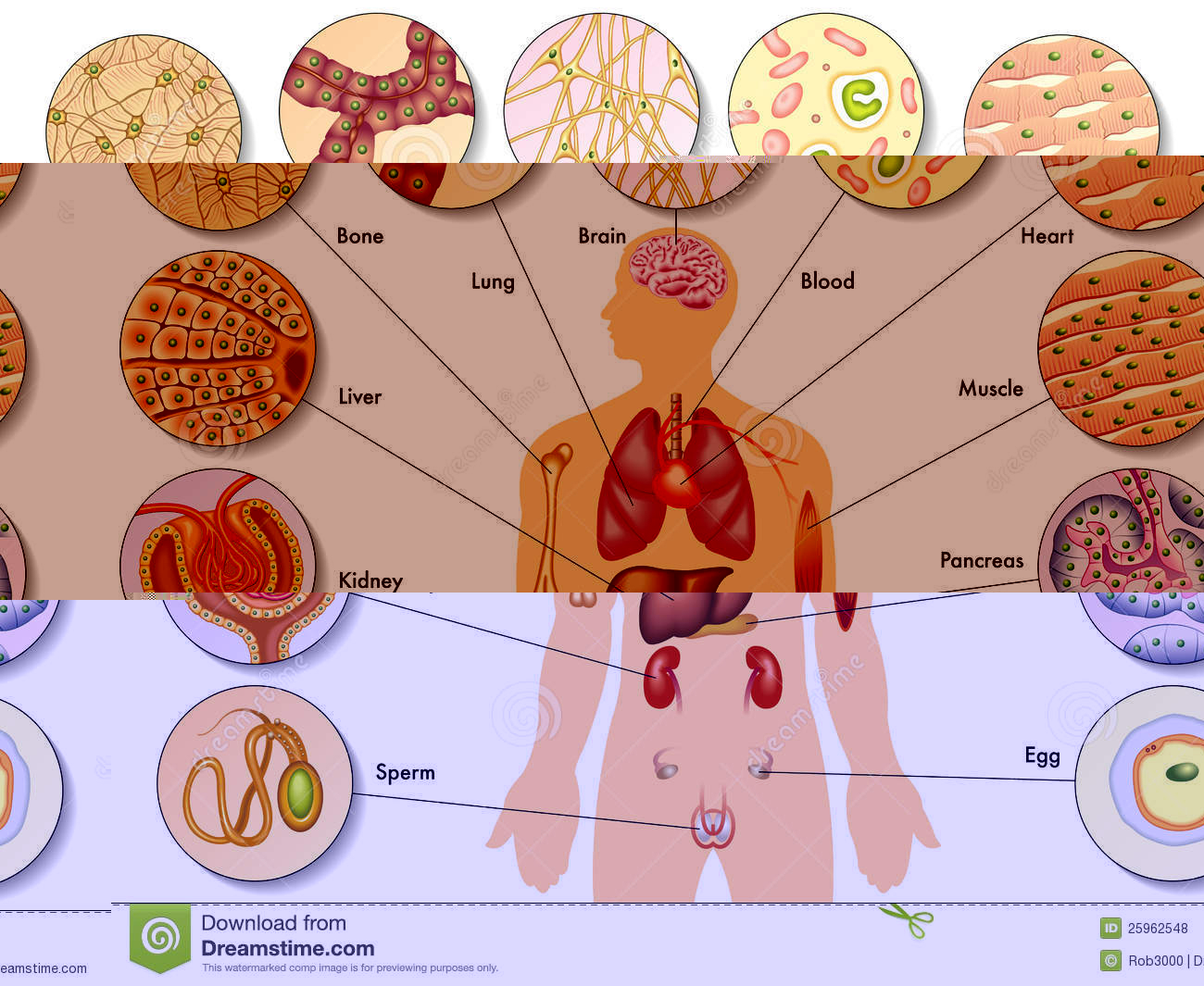 Labeled diagram of human. Cell clipart body cell