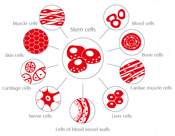 Stem cells building blocks. Cell clipart body cell