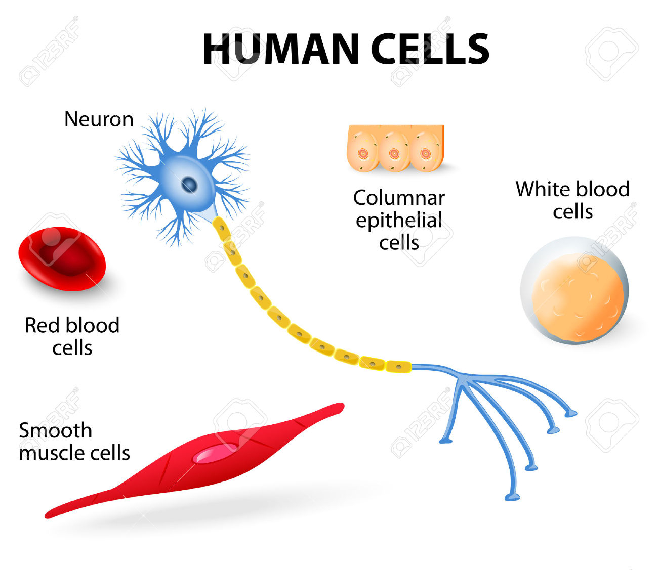 Cell clipart body cell. Blood cells in human