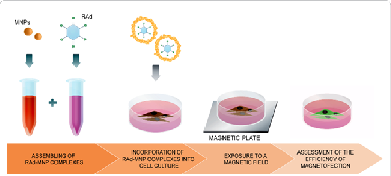 Magnetofection in this illustration. Cell clipart cell culture