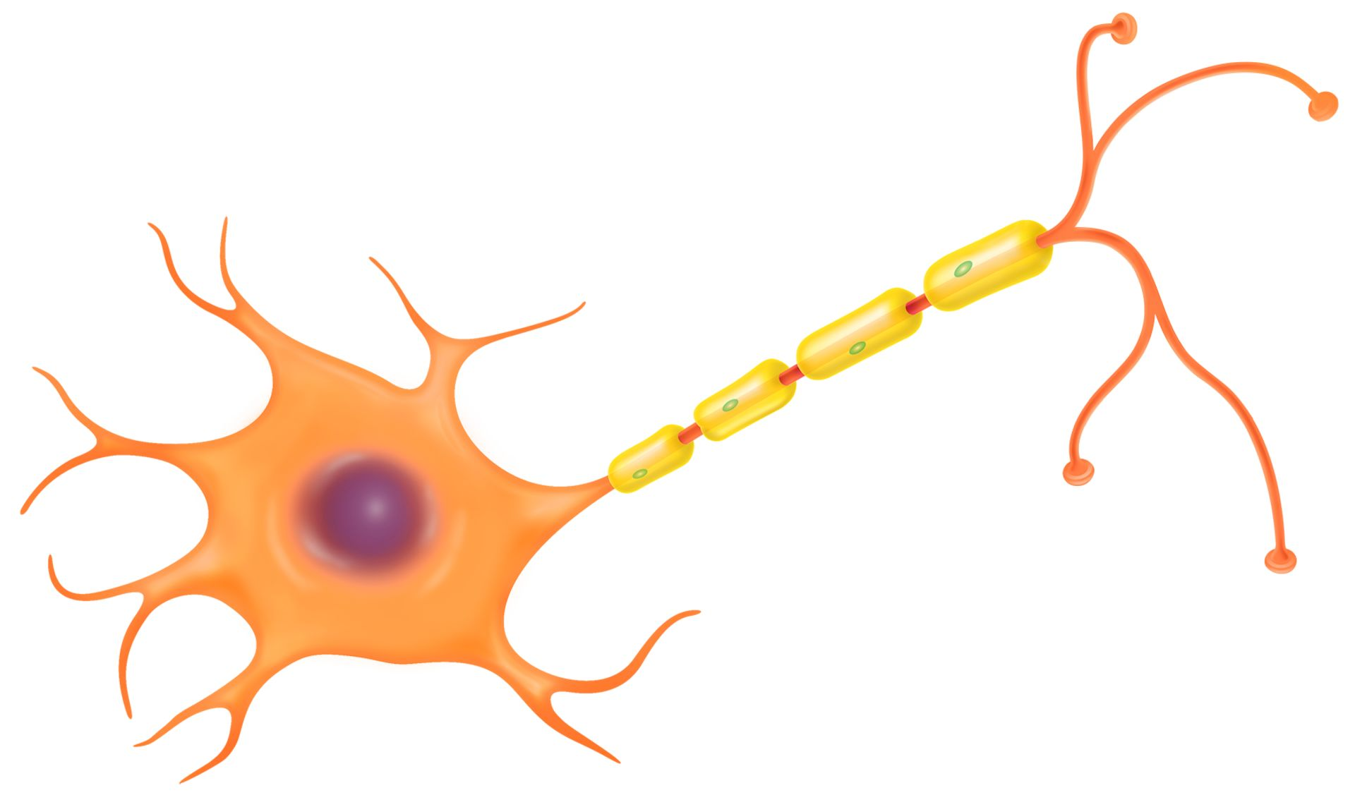 Nerve function dk find. Cell clipart cell diagram
