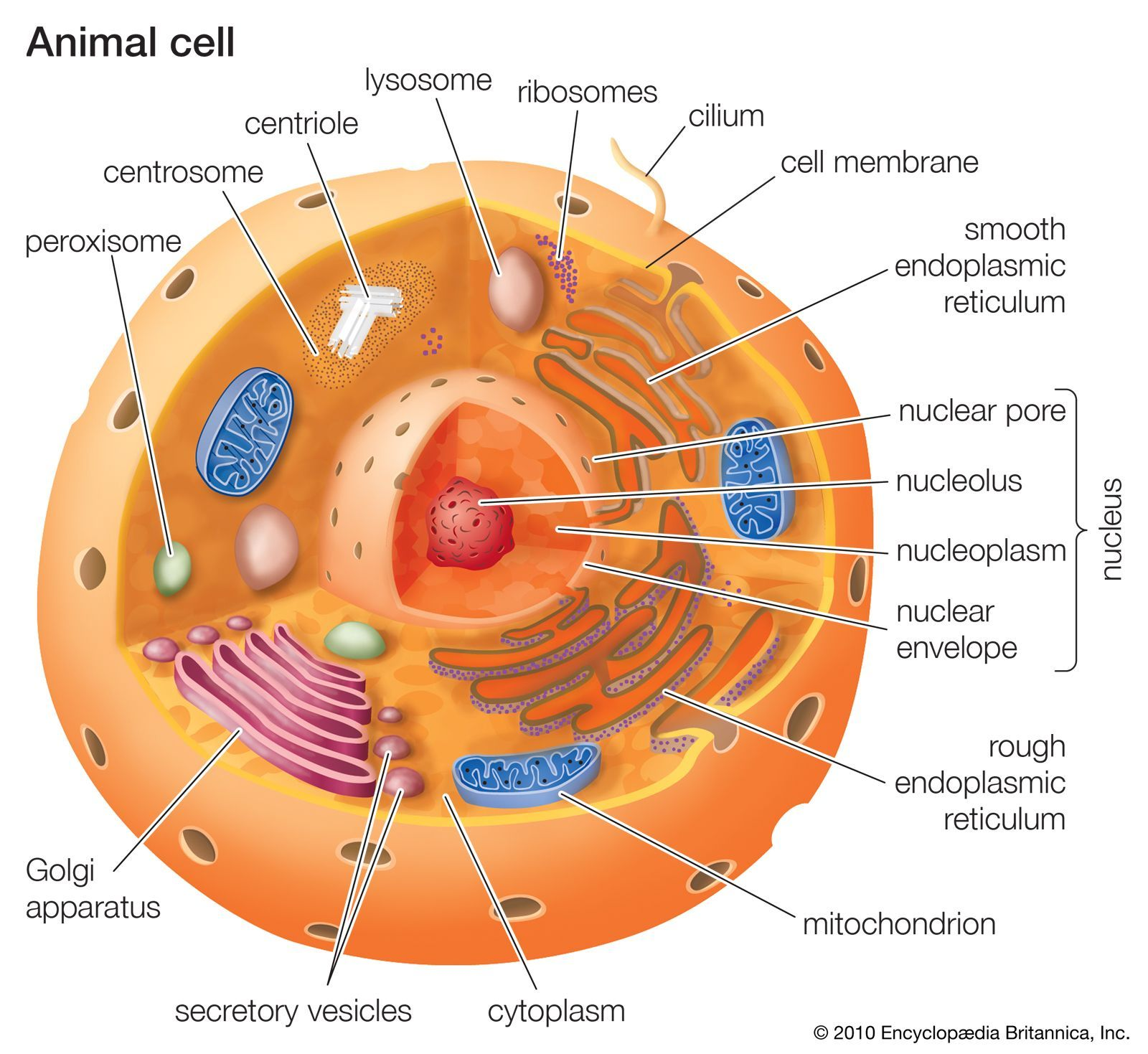 Cell clipart cell diagram. Animal biology pictures homeschool
