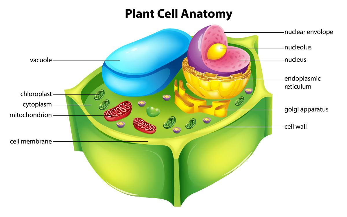 Vacuole structure . Cell clipart cell diagram