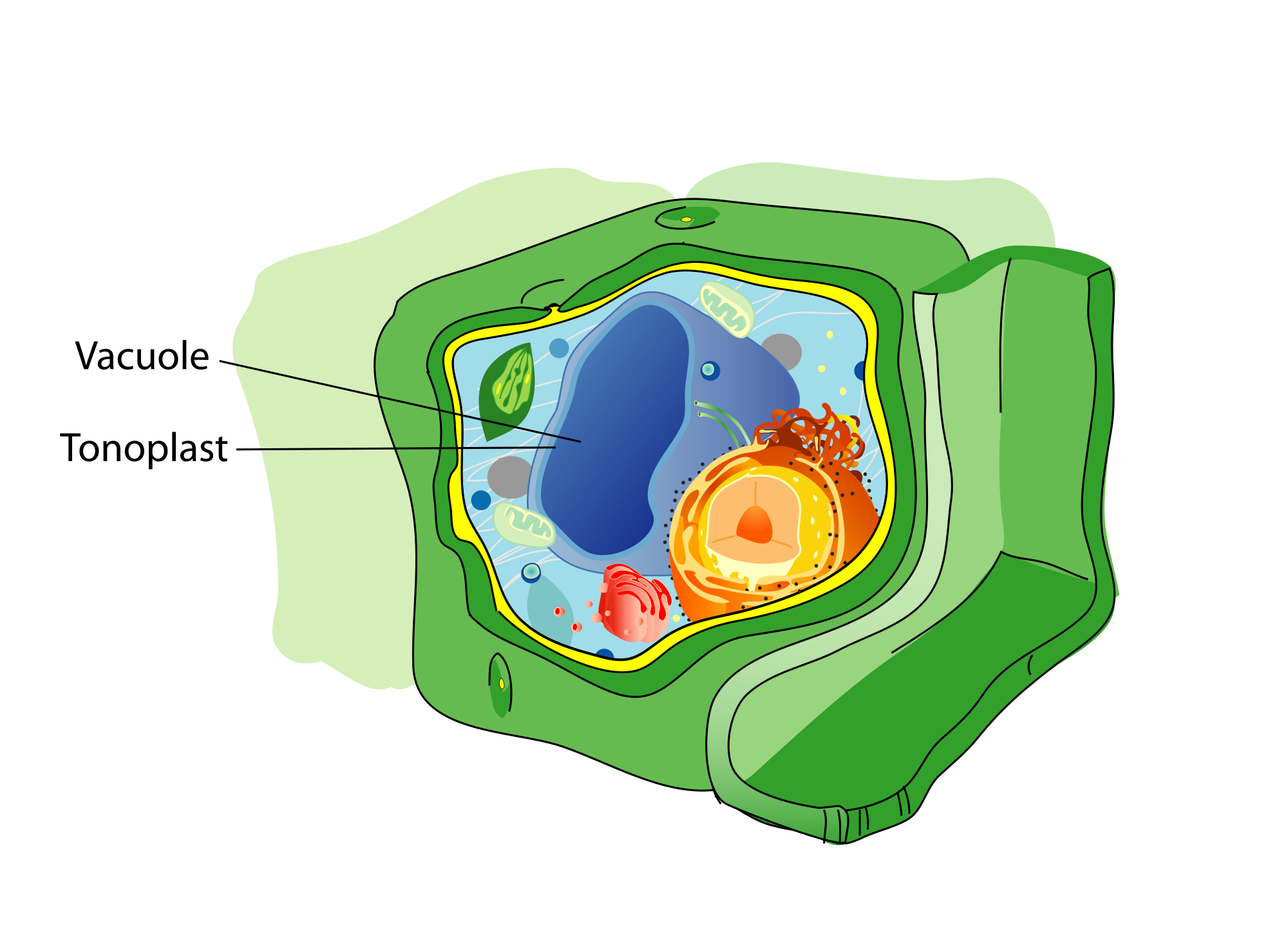 Vacuole wikipedia plant. Cell clipart cell structure