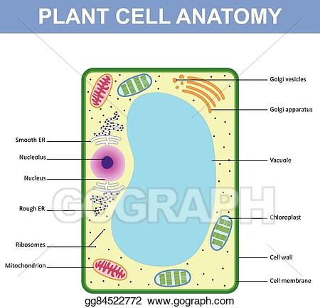 Cell clipart cell structure. Vector illustration of a