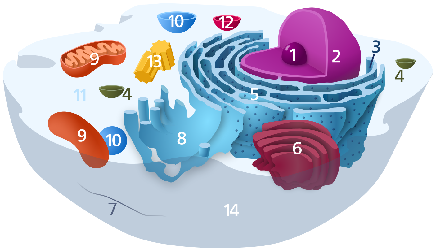 Muscle and function brookbush. Cell clipart cell structure