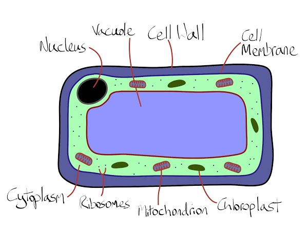 Plant cells biology . Cell clipart cell structure