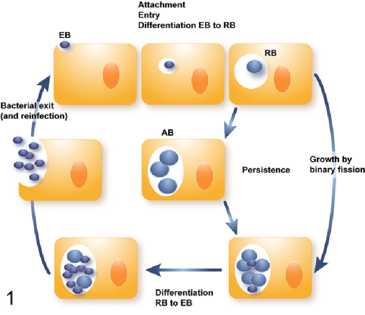 Developmental cycle the elementary. Cell clipart chlamydia