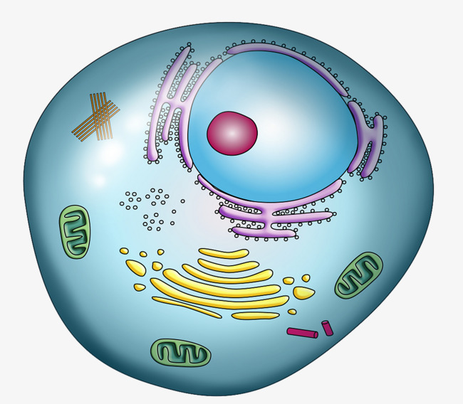 Cell clipart colored. Color nuclear structure cytoplasm