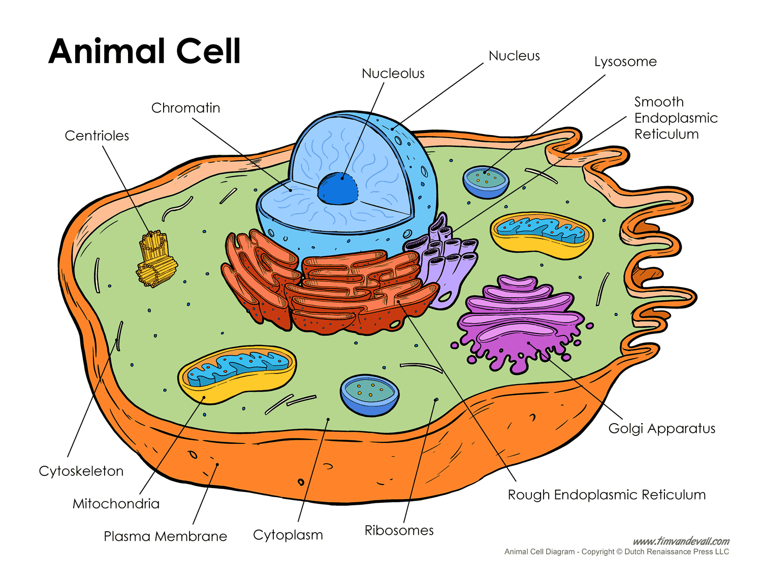 Cell clipart labelled. Printable labeled and unlabeled