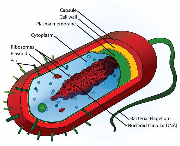 Cell clipart labelled. Bacteria clip art at