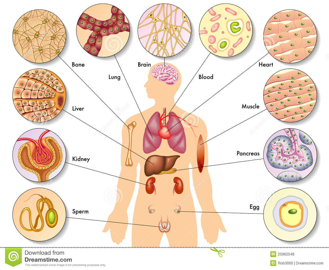 Labeled diagram of human. Cell clipart labelled