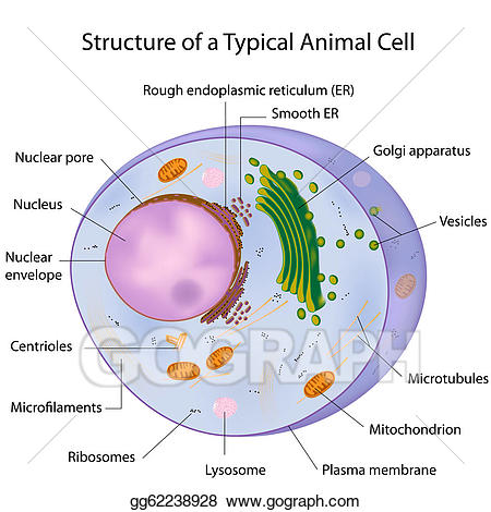 Eps vector a typical. Cell clipart labelled