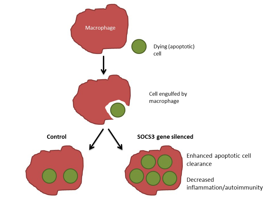 Cell clipart macrophage. Modulation of socs in
