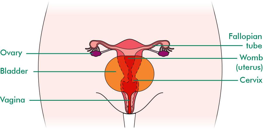 The ovaries understanding macmillan. Cells clipart ovary