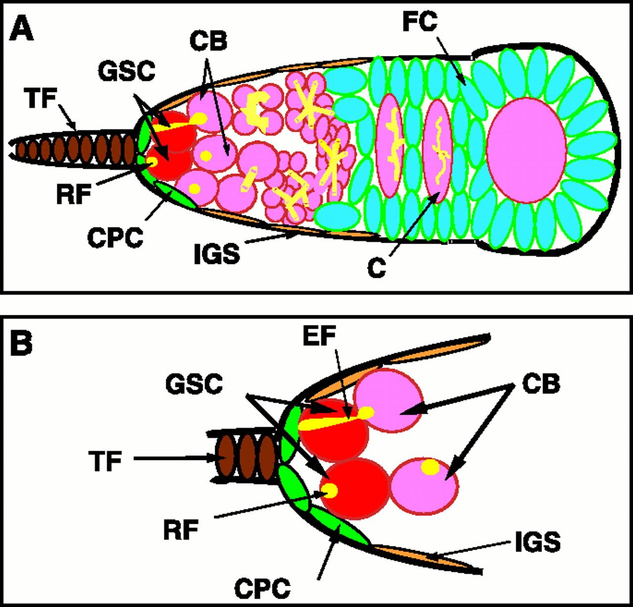 A niche maintaining germ. Cells clipart ovary