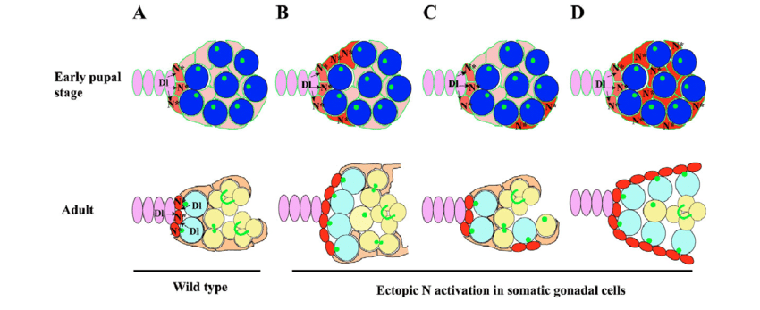 Model explaining how N signaling controls GSC niche formation in the