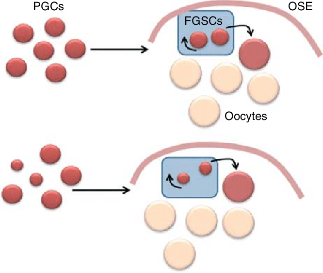 Figure schematic representation of. Cells clipart ovary
