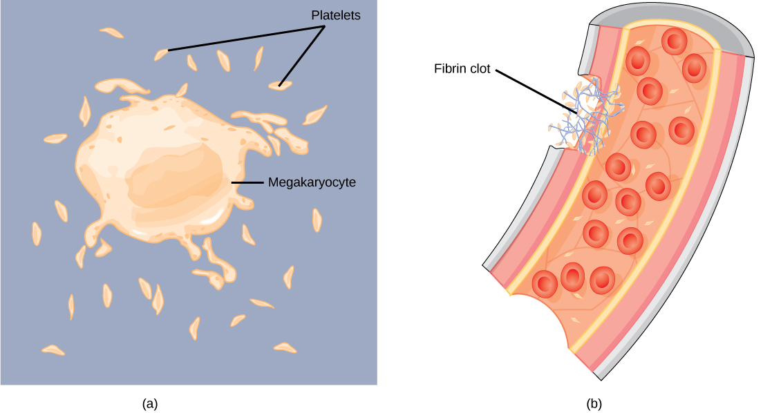 Biology animal structure and. Cell clipart platelet