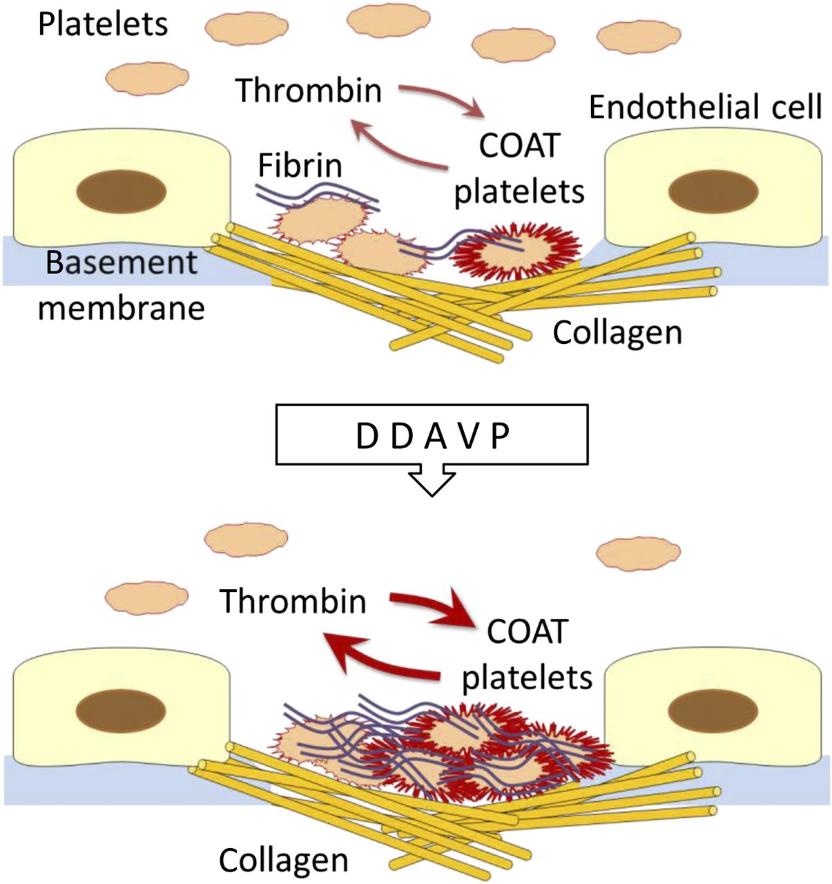 Cell clipart platelet. Desmopressin and super platelets