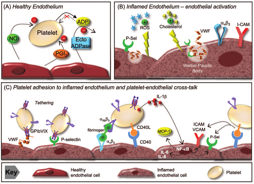 Cell clipart platelet. Endothelial interactions a the