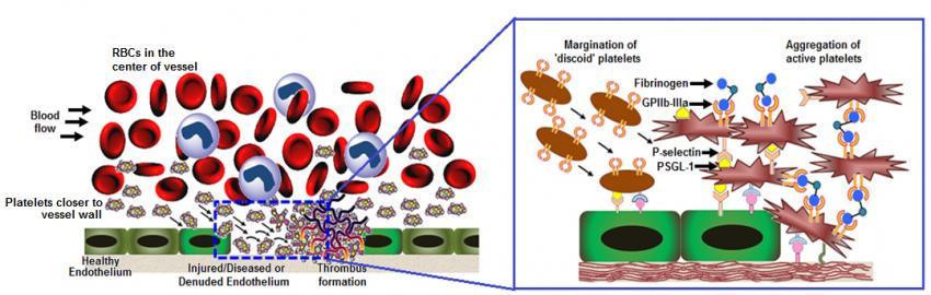 Shape of things to. Cell clipart platelet