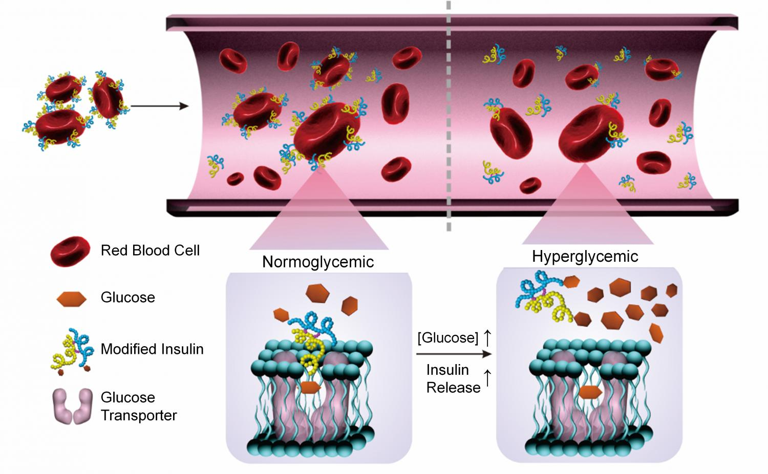 Cell clipart red blood cell. Researchers use modified insulin