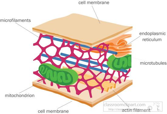 Cytoskeleton membrane classroom cytoskeletoncellmembraneclipartjpg. Cell clipart science