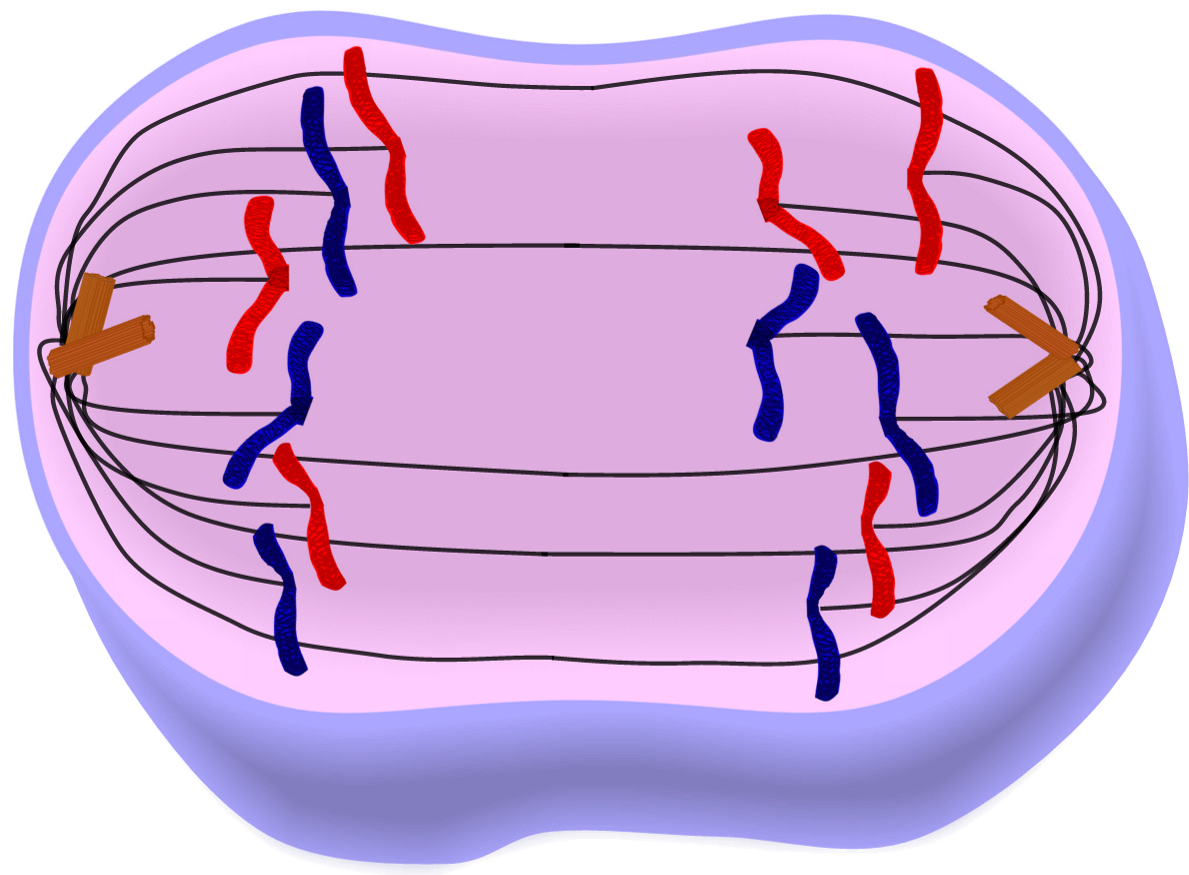Cell clipart simple. Edupic drawings anaphase of