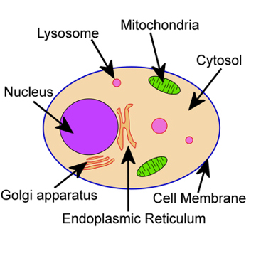 Introduction to biology sketch. Cell clipart simple