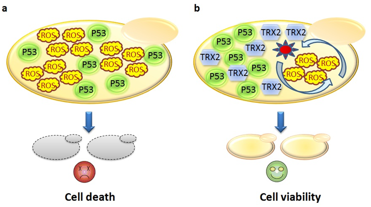 Over expression of trx. Cells clipart yeast