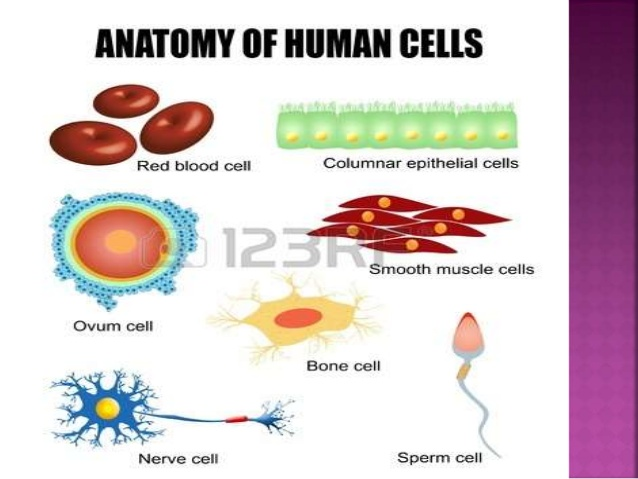 Cell clipart body cell. Types of cells in