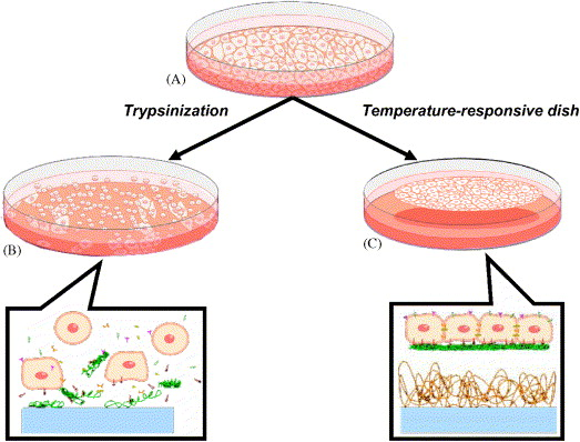 Cells clipart cell culture. Sheet engineering recreating tissues