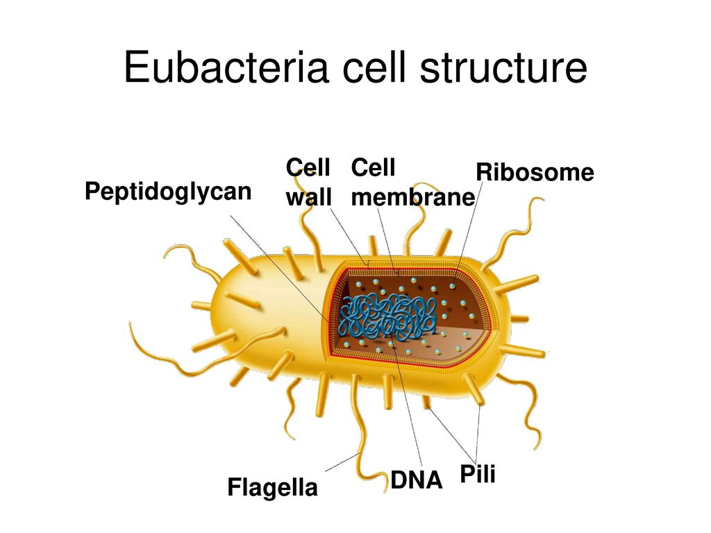 Bacteria chapter ppt download. Cells clipart eubacteria