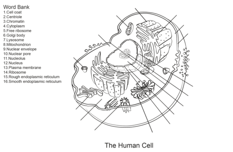 Cells clipart printable. Human cell worksheet coloring