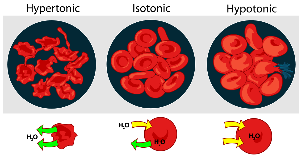 Cells clipart red blood cell. What happens to placed