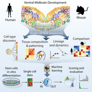 Cell clipart single cell. Molecular diversity of midbrain
