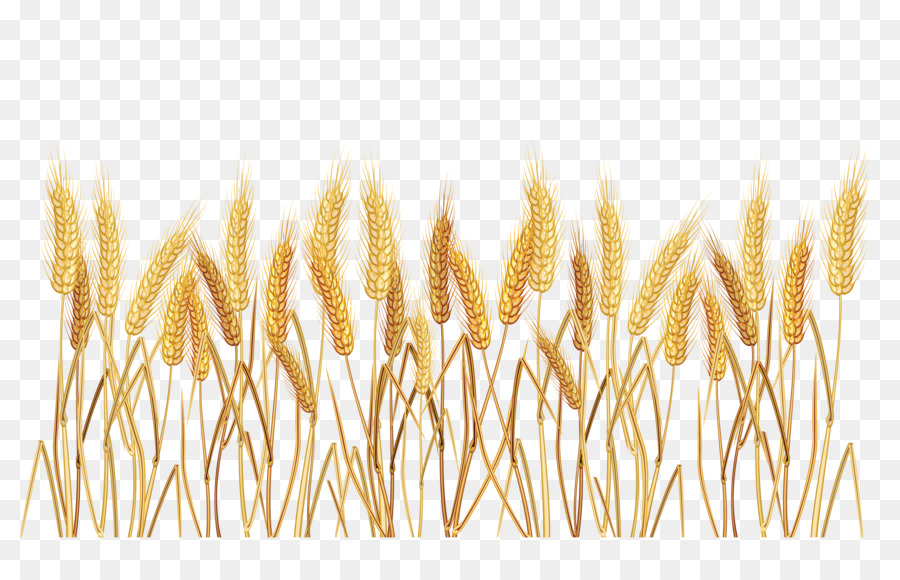 Common wheat clip art. Cereal clipart cereal grain