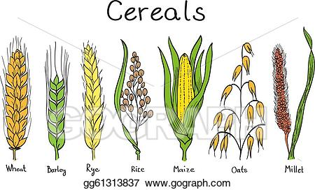 Vector art cereals hand. Cereal clipart cereal grain