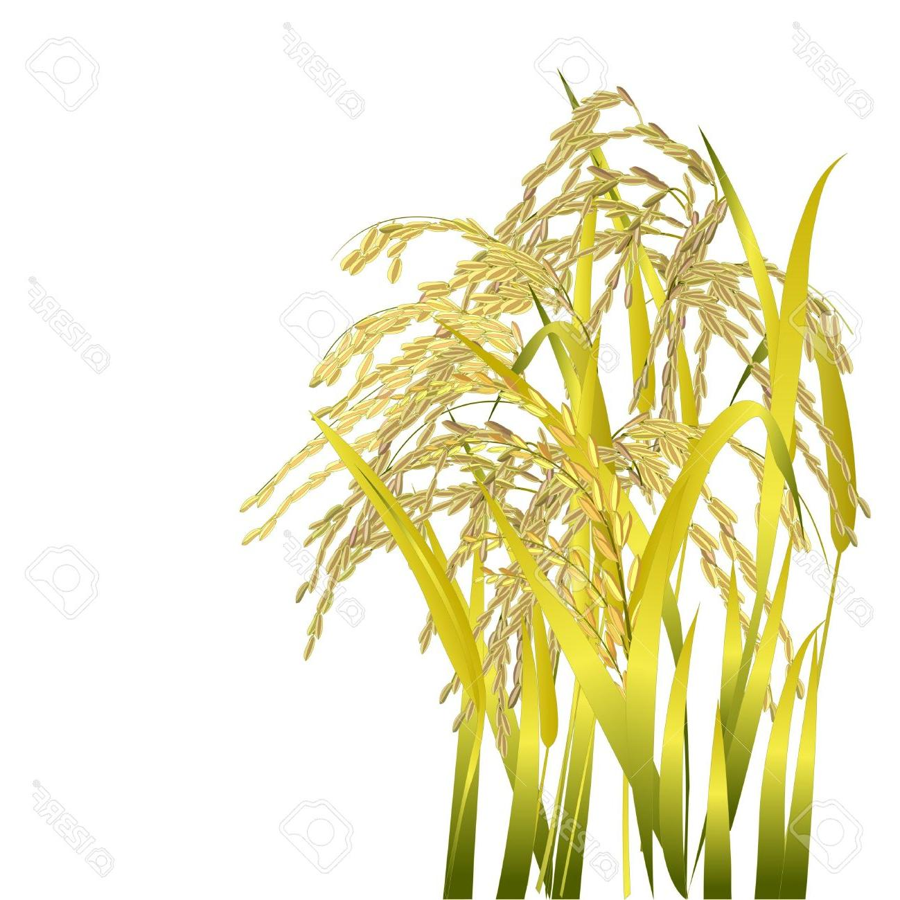Top crop image vector. Cereal clipart rice plant
