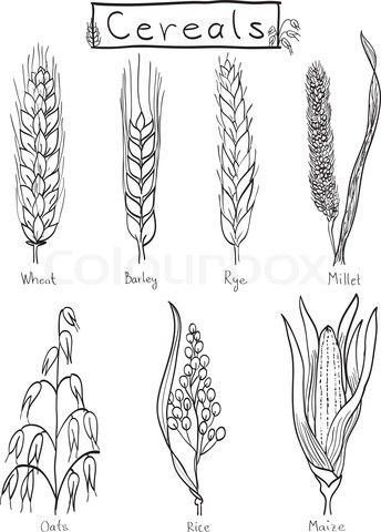 Pin on species . Crops clipart drawing