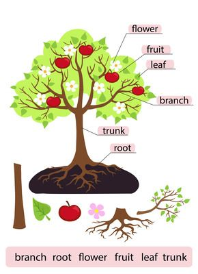 Cereal clipart tree. Parts of structure trunk
