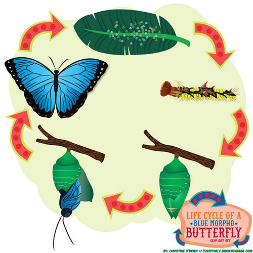 Chain clipart butterfly. Life cycle of a