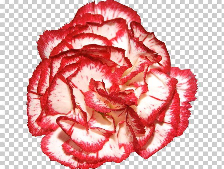 Garden roses carnation flower. Chain clipart rose