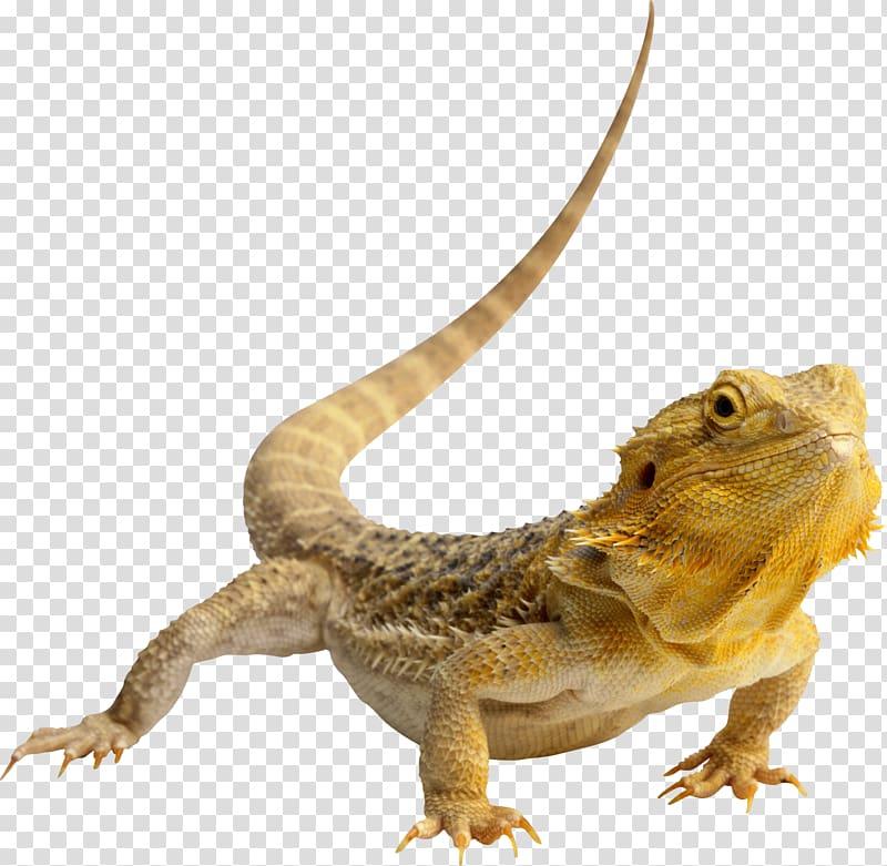 Lizard central bearded dragon. Chameleon clipart brown