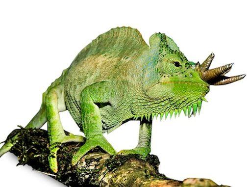 Chameleon exotic animal