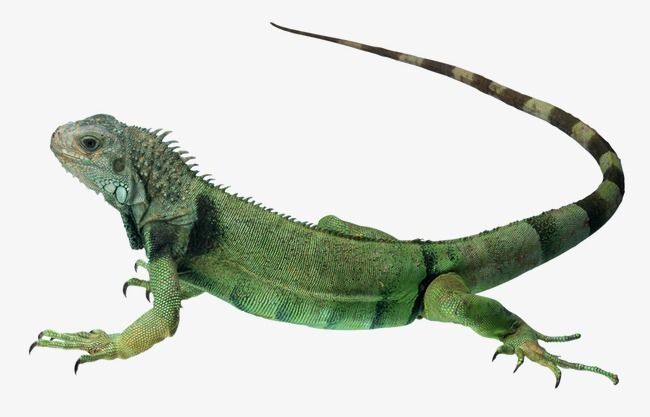 Toys toy green png. Chameleon clipart iguana