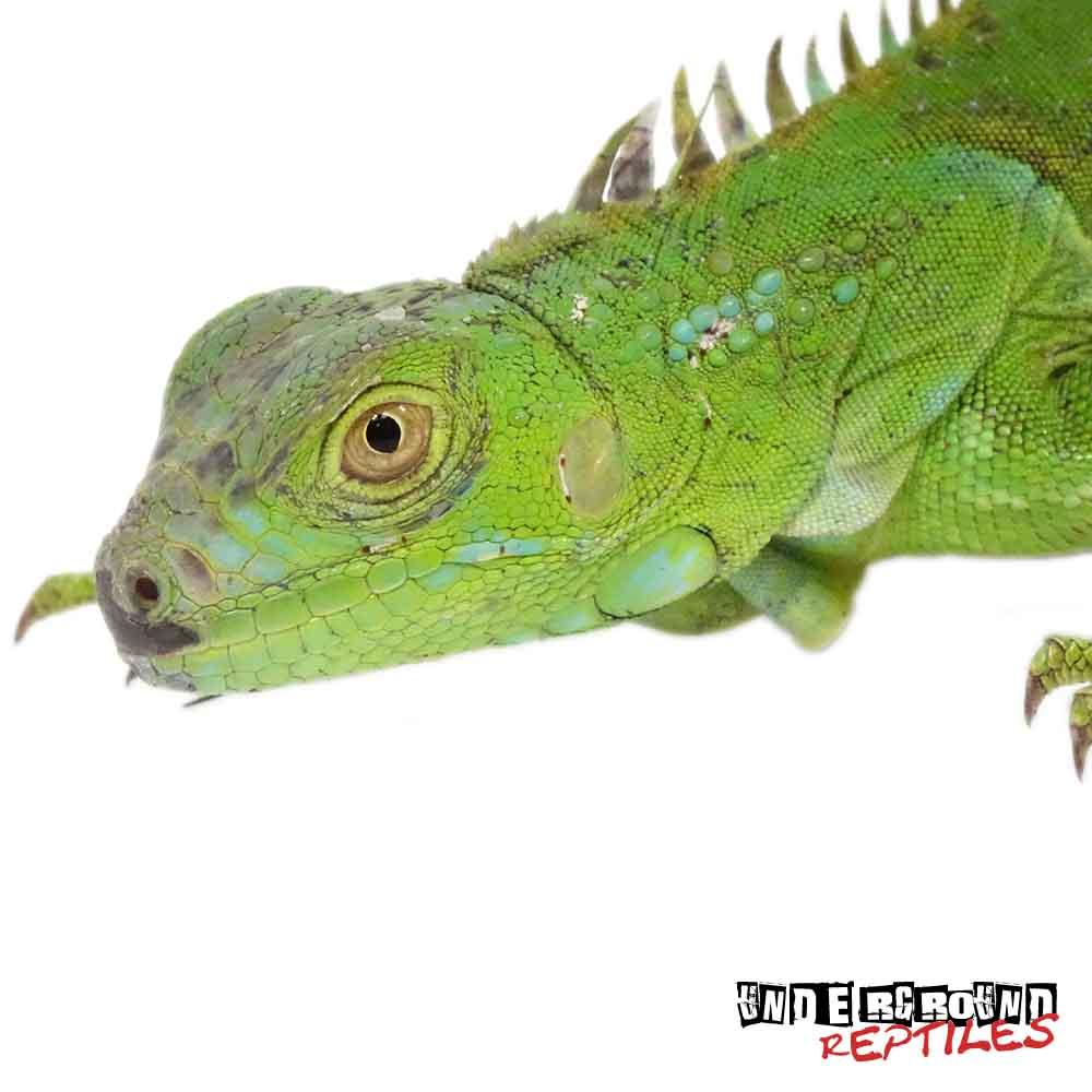 Chameleon clipart iguana.  foot green iguanas