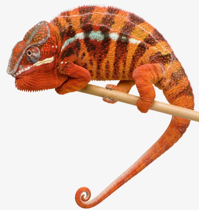 Chameleon clipart tail. Crawling orange long lizard