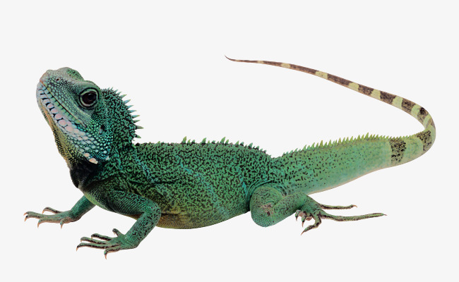 Green long material png. Chameleon clipart tail